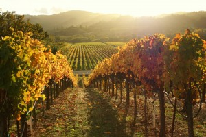 Wine Road Vines Heaven Condensed