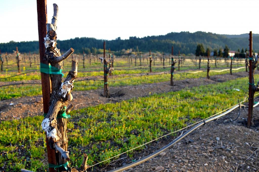 dry-creek-vineyard-close-up