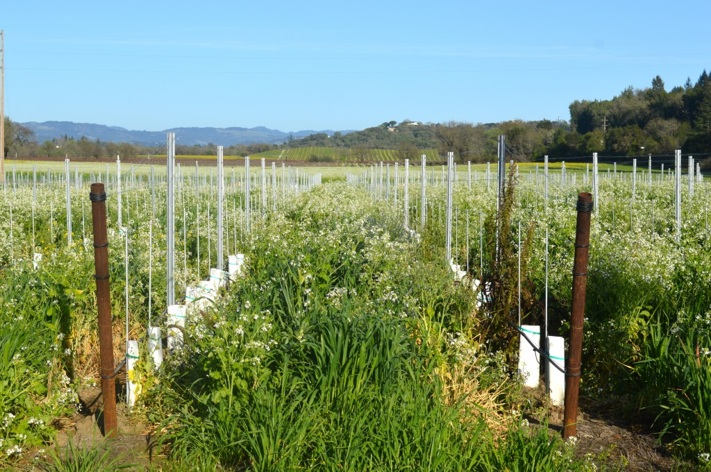 river-road-vineyards-arugula