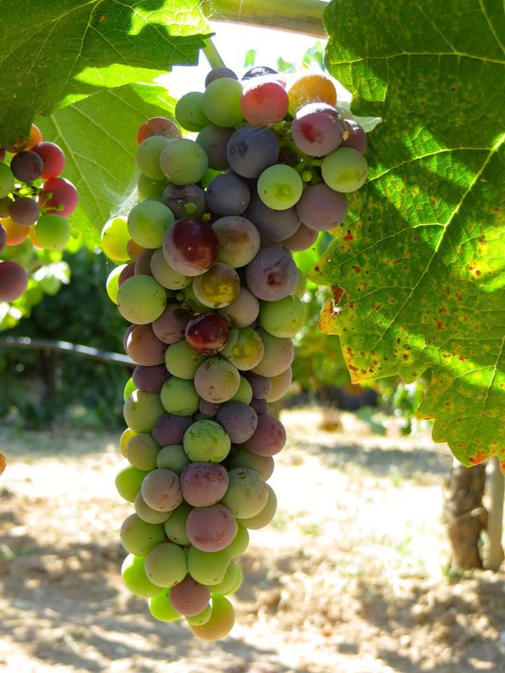 summer-grapes