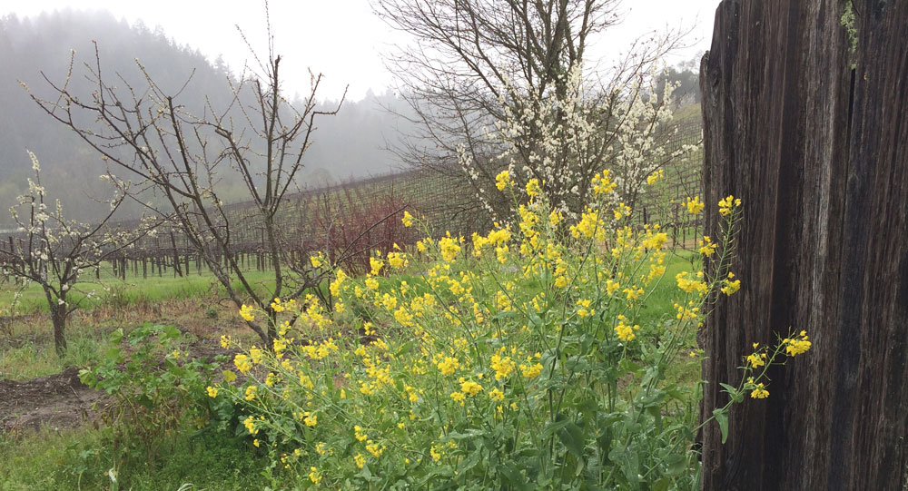 Mustard and vineyard during a spring shower Barrel Tasting weekend 2017