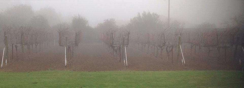 Foggy blankets the vineyard