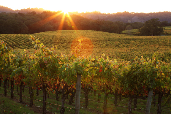 Sunlight streaming into a vineyard near dusk