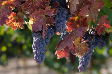 Zinfandel grape clusters on the vine shortly before harvest