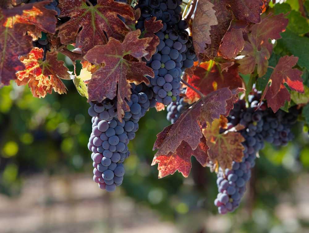 Zinfandel grape clusters on the vine shortly before harvest