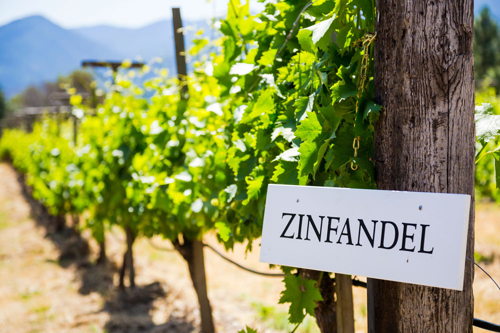 Zinfandel sign at the end of a row of vines.