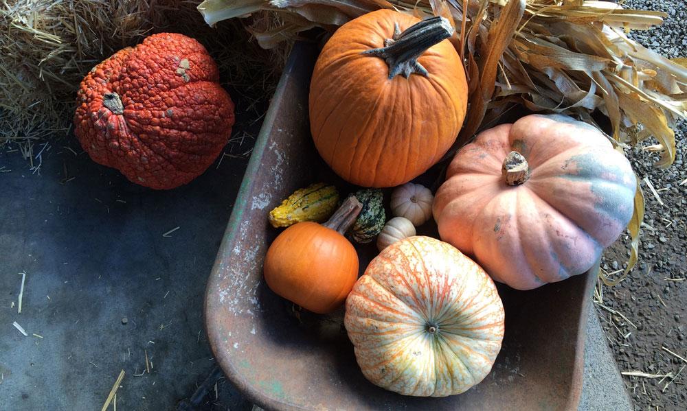 Pumpkins and squash in a wheelbarrow