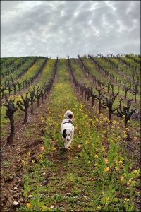 Dirk the dog walking through Pedroncelli Vineyards
