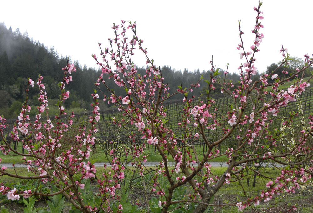 Enjoy springtime and flowering trees during Barrel Tasting along the Wine Road.