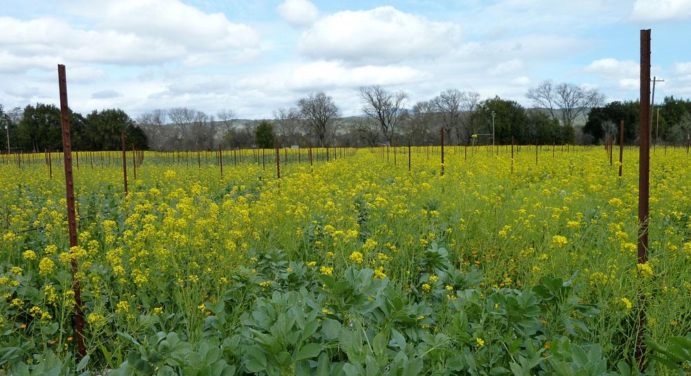 A vineyard of mustard blooming in spring