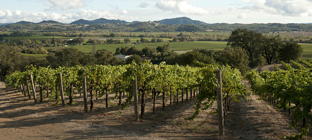 Vineyard vista in Summer