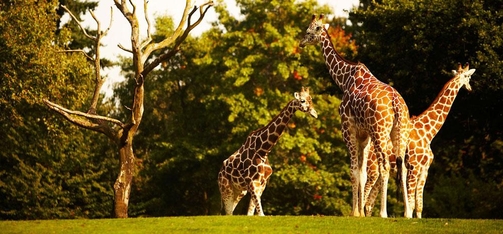 Giraffe's at Safari West, just outside of Santa Rosa, CA.