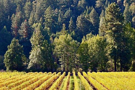 Vineyard with redwood trees behind