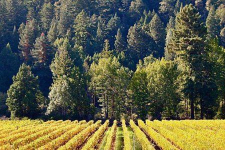Vineyard with redwood trees behind