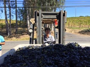Phyllis Zouzounis, on a forklift, with a load of grapes in a picking bin