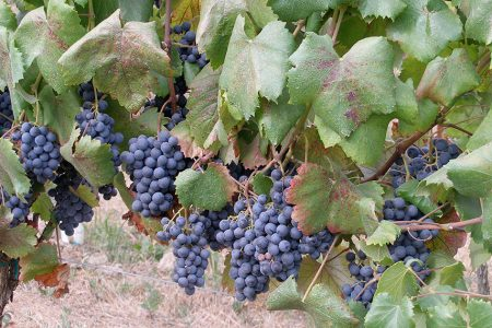 Grapes ripening on the vine just days before harvest.
