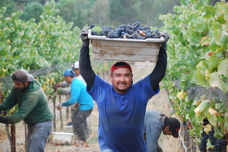 Man carrying a picking bin filled with red grapes above his head.