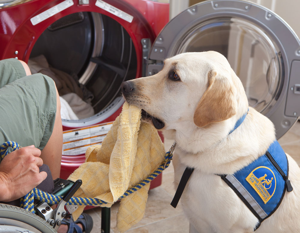 Canine Companion yellow lab in a working cap handing a towel from the clothes dried to someone in a wheelchair.
