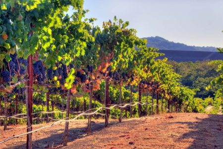 Vineyard image with grapes just before harvest