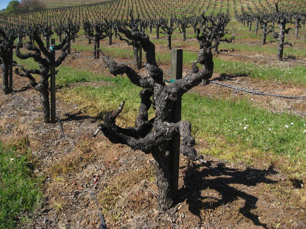 Old head trained pruned vine