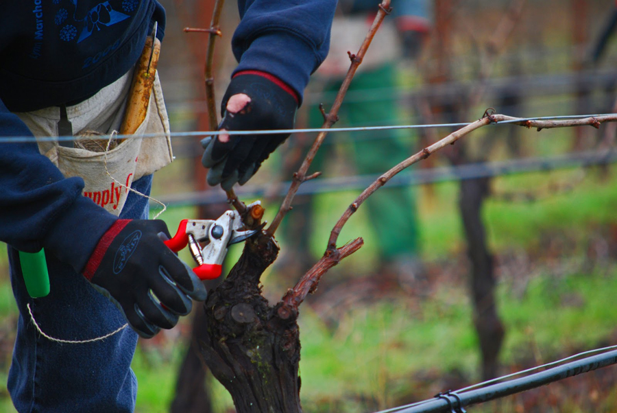 Close up image of pruning grape vines