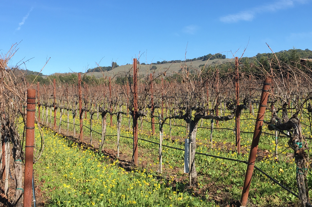 A Russian River Valley vineyard waiting to be pruned.