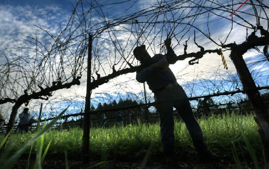 Vineyard working pruning vines