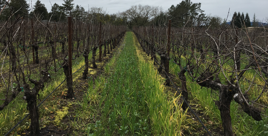 The winter cover crop at Tara Bella Vineyards in Sonoma County's Russian River Valley.
