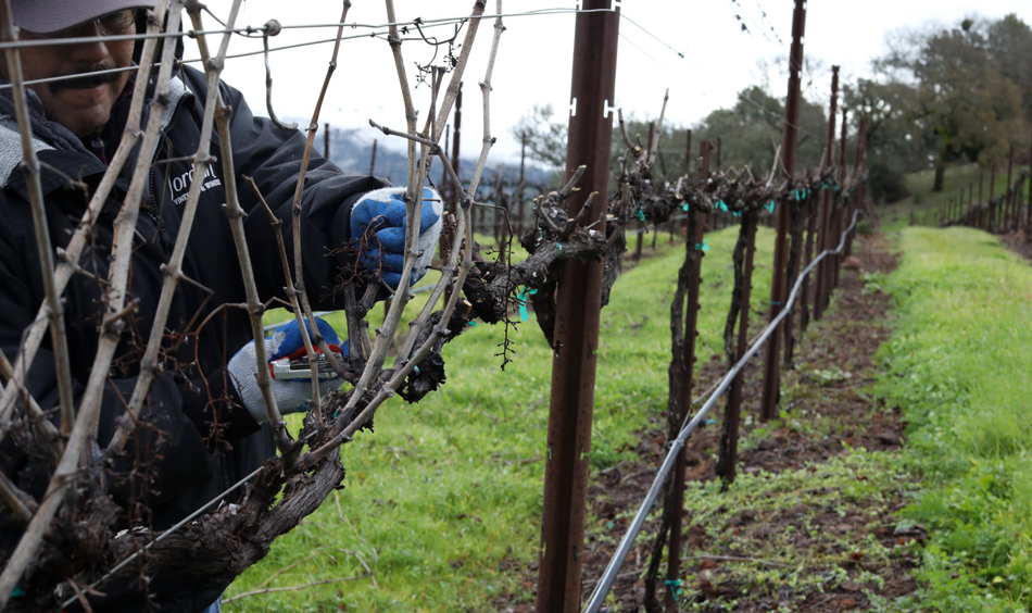 Walking through the vineyard to prune the vines during a soggy winter is easier when the crew can walk on the cover crop.