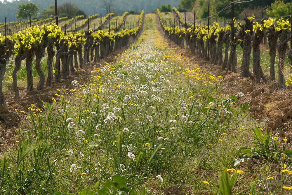 A mixed cover crop blankets the rows between the grapevines.