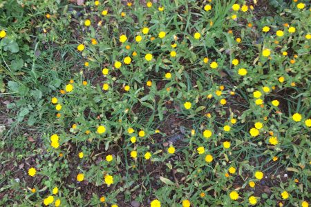 The beautiful yellow and orange flowers provide a decorative element to the beneficial cover crop.