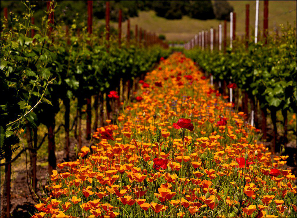 Poppies blanket the rows between the vines to provide a colorful cover crop. Photo from the Sonoma County Winegrowers.