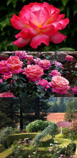 Korbel Winery Antique Rose Garden