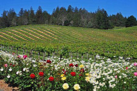 Summer vineyard vista along Sonoma County's Wine Road