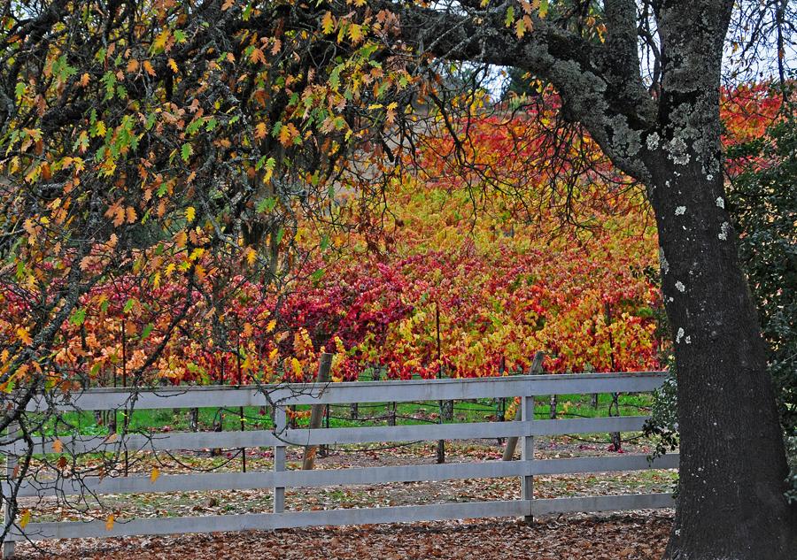 A beautiful fall vineyard scene along the Wine Road.