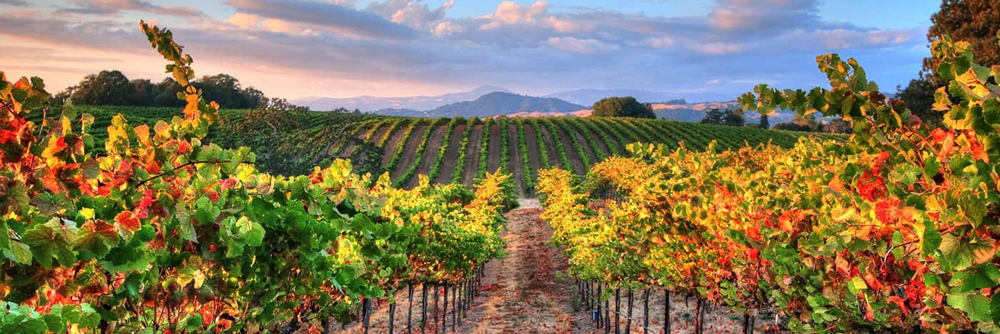 Fall image of vineyards in Sonoma County