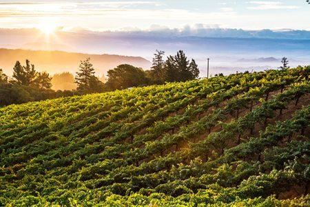 Fog rolling in on a summer vineyard scene.