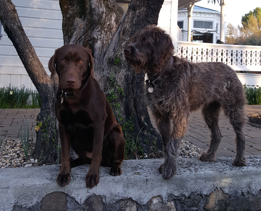 Cocoa, the chocolate lab, and Cali, the other dog in the photo, are the unofficial greeters at Alexander Valley Vineyards.